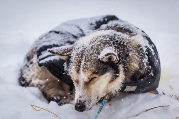 sleddog-asleep