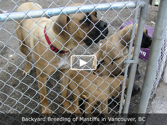 of bc videos backyard breeding of mastiffs in vancouver bc